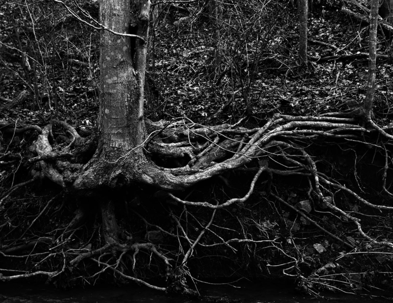 Tree with roots exposed
